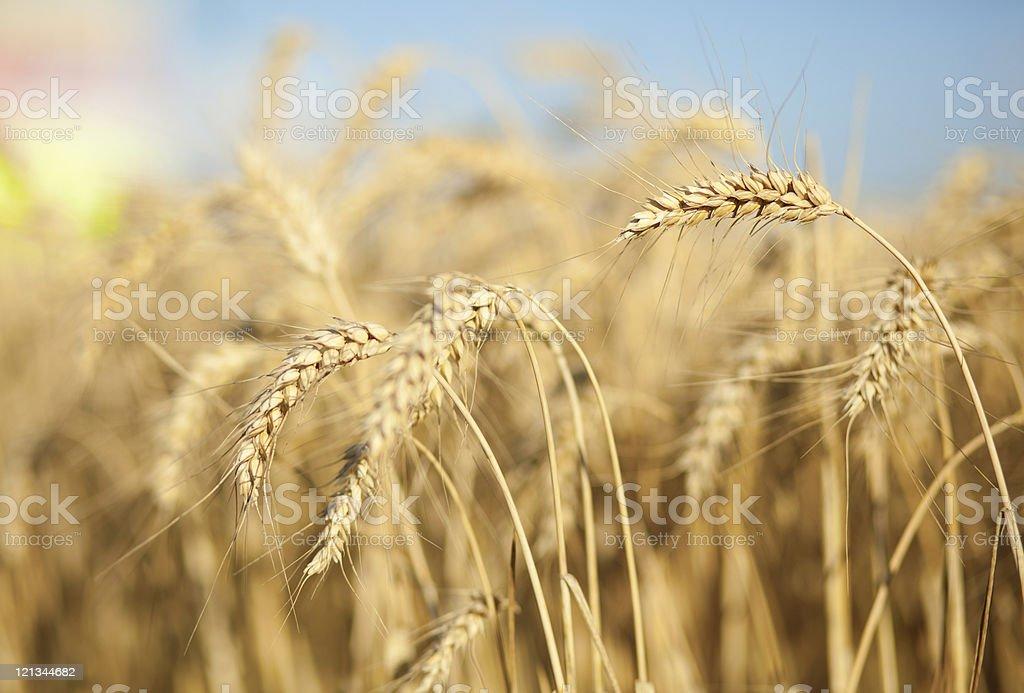 Beautiful golden wheat spikes royalty-free stock photo