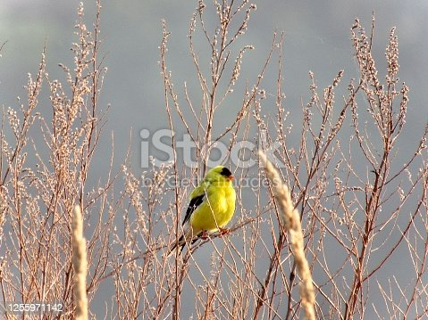 Beautiful Goldfinch perched in the morning