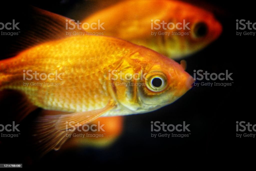 Beautiful Goldfish In Home Aquarium Gold Fish Tank For Home Stock Photo Download Image Now Istock