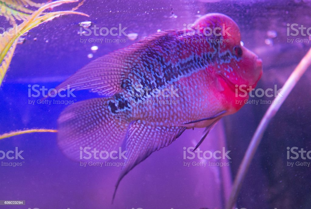 Beautiful Good Color Flowerhorn Cichlid Fish At Water Tank With  Royalty Free Stock Photo