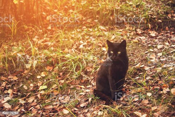 Beautiful graceful black cat with yellow eyes sitting on yellow in picture id849129294?b=1&k=6&m=849129294&s=612x612&h=wan55o t jed5ob9wv6rf1wyhinmaamoodwkhu04cgy=