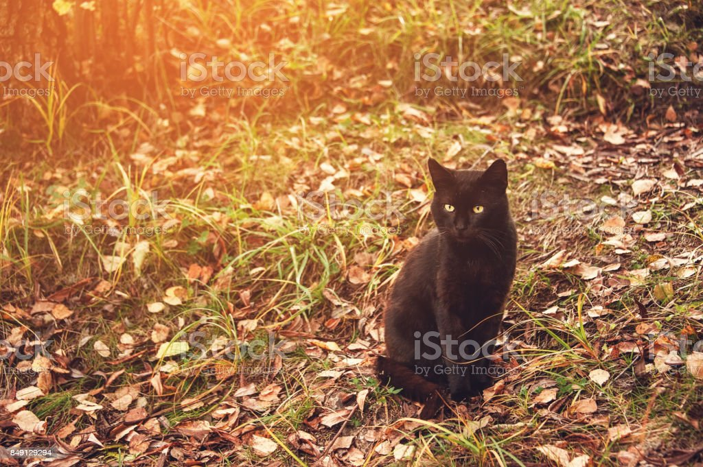 Beautiful graceful black cat with yellow eyes sitting on yellow leaves in autumn. Toned. stock photo