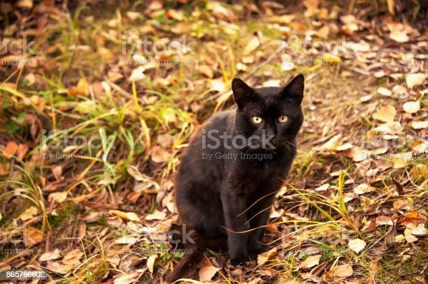 Beautiful graceful black cat with yellow eyes sitting on yellow in picture id865796602?b=1&k=6&m=865796602&s=612x612&h=vbqkxdkpd0ofktzngm5el7ekrx43nmpfmritk2enntc=