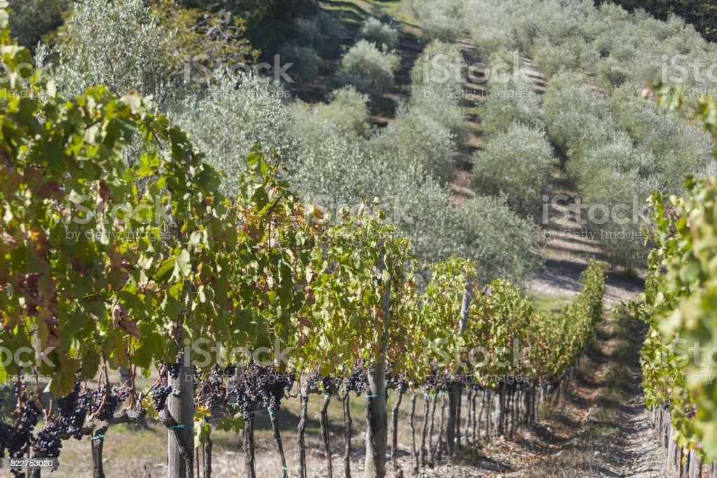 Beautiful grape and olive plantations in Radda in Chinati, italy stock photo