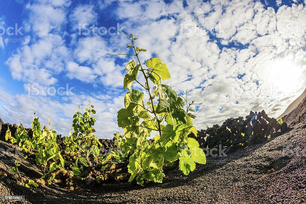 beautiful grape plants grow on volcanic soil in La Geria royalty-free stock photo