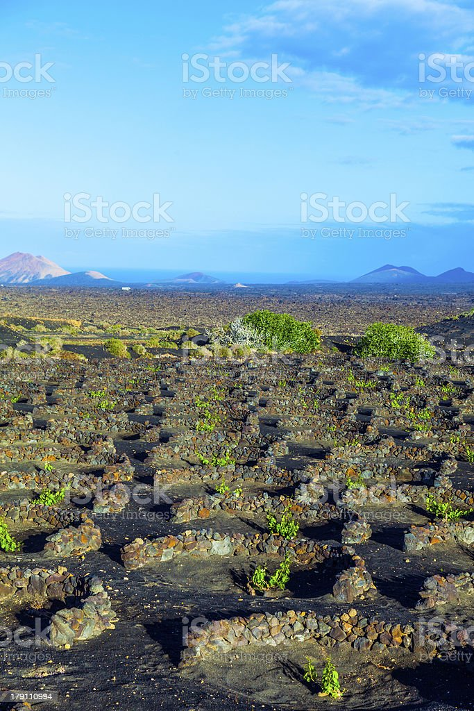 beautiful grape plants grow on volcanic soil in La Geria royalty-free stock photo