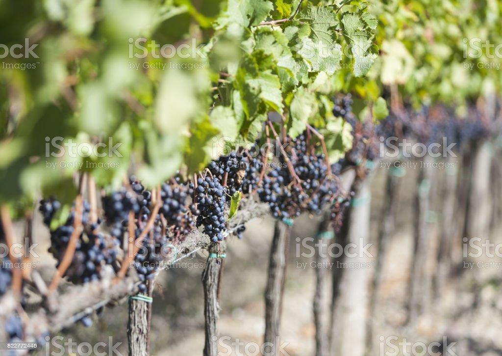 Beautiful grape rows in Radda in Chianti, italy stock photo