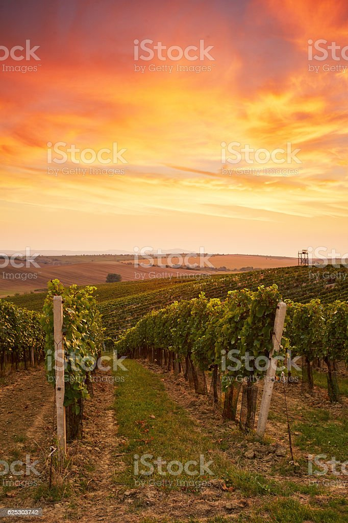 Beautiful grape vines in Moravia stock photo