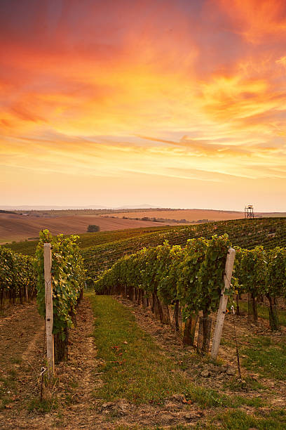 Beautiful grape vines in Moravia Beautiful grape vines in Moravia, toned at sunset moravia stock pictures, royalty-free photos & images