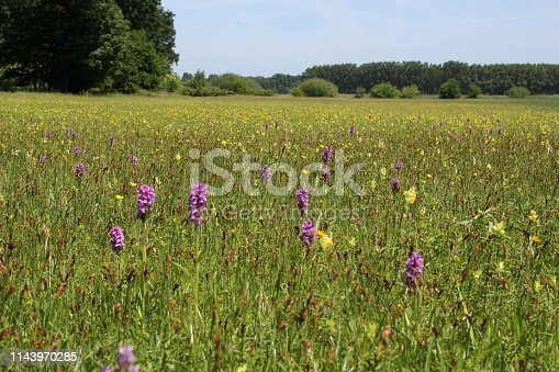 a beautiful grass field with wild orchids, rattles and buttercups in a nature reserve in zeeland, holland in springtime