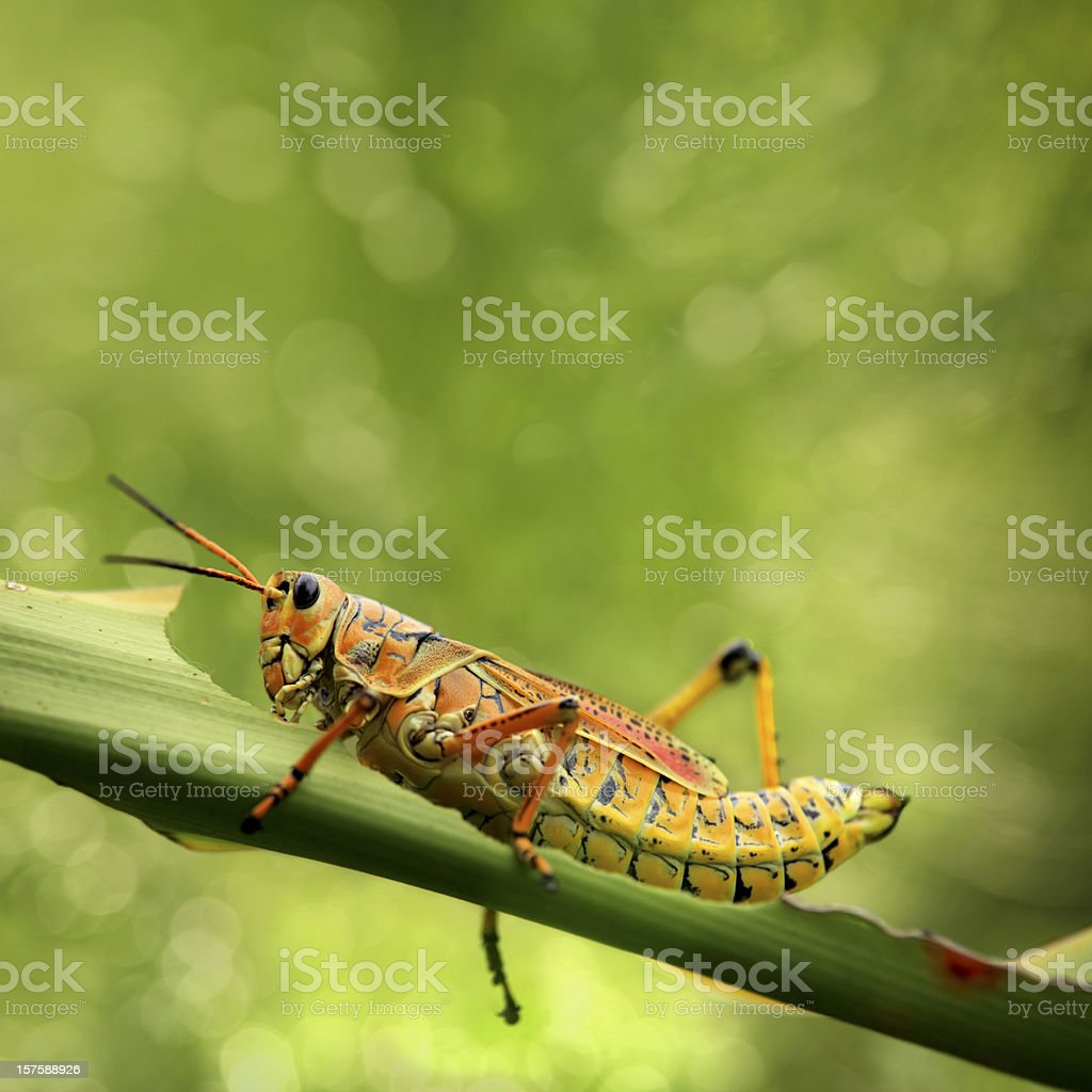 beautiful  grasshopper eating leaf stock photo