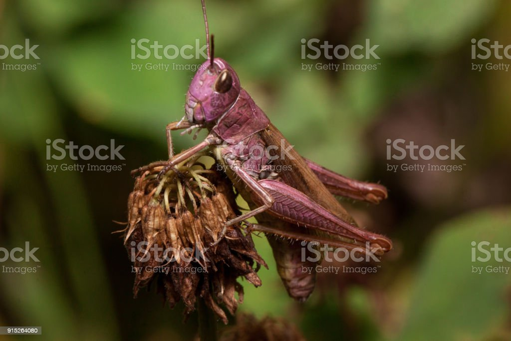 Beautiful grasshopper is sitting on a dried flower. Animals in wildlife. stock photo