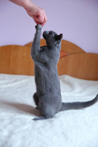 Beautiful gray cat with a pedigree picture id912943930?b=1&k=6&m=912943930&s=612x612&w=0&h=hhywcpdchtbm3gwfambw3xba5xxpabflrupudrvvrye=
