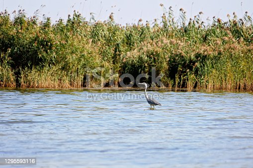 A beautiful gray heron fishing in the lake is a wildlife in its natural habitat. Wildlife concept. Soft selective focus.