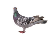 beautiful gray pigeon isolated on white background