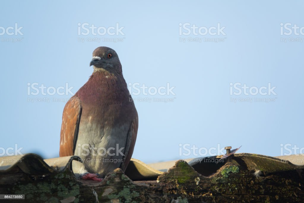 beautiful gray pigeon on roof of house royalty-free stock photo