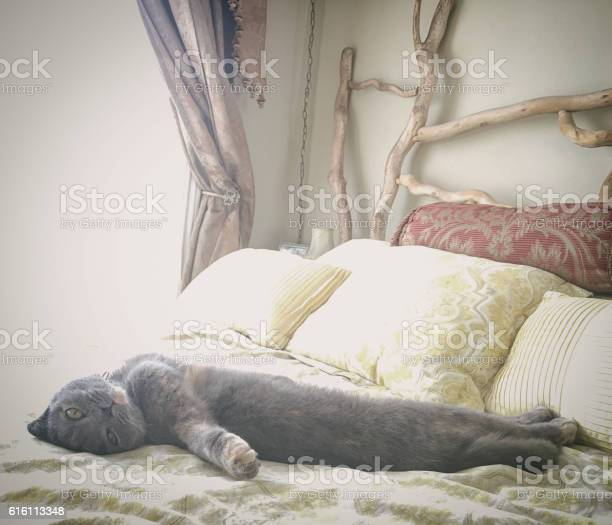 Beautiful gray scottish fold cat relaxing on a bed picture id616113348?b=1&k=6&m=616113348&s=612x612&h=du2sikhcp0iior4e bf gmr o0u3wy1pypv00ap32ng=