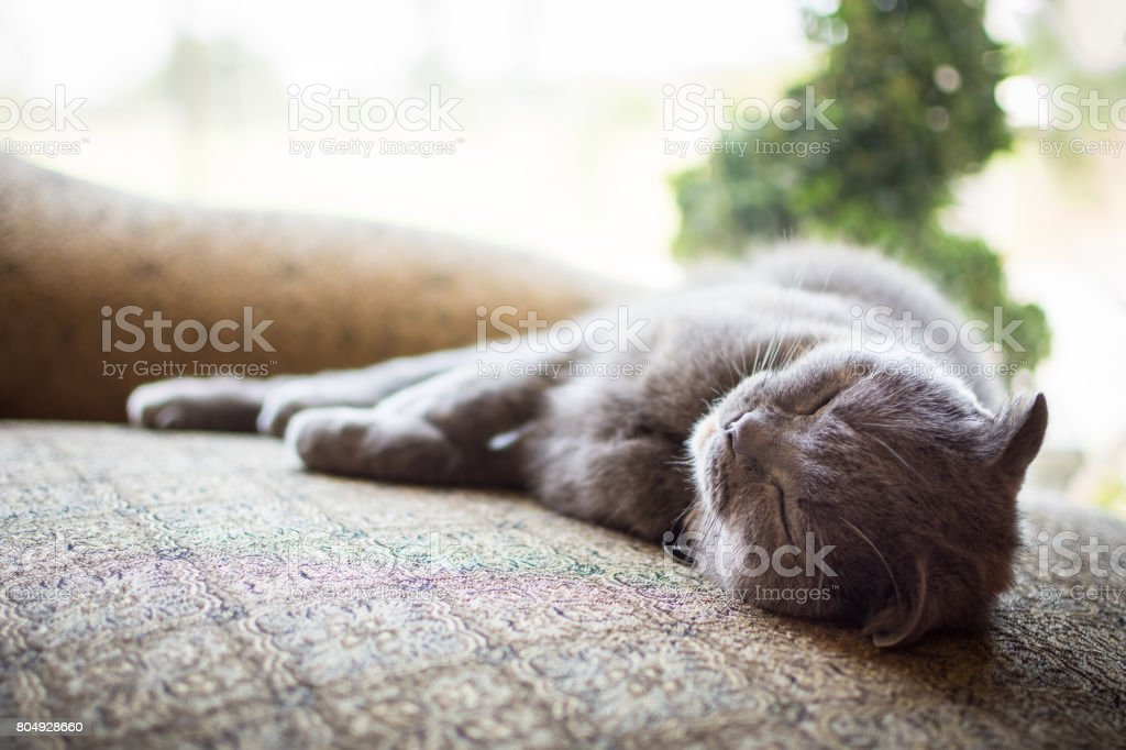 Beautiful gray Scottish Fold cat sleeping indoors stock photo