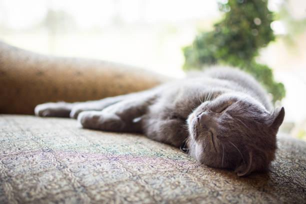 Beautiful gray Scottish Fold cat sleeping indoors stock photo