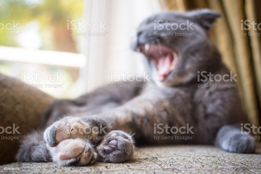 Schone Graue Scottish Fold Katze Drinnen Gahnen Stockfoto