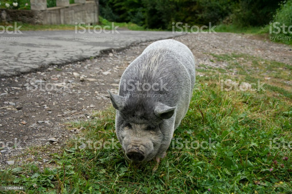 Beautiful gray small domestic pig on the road. stock photo