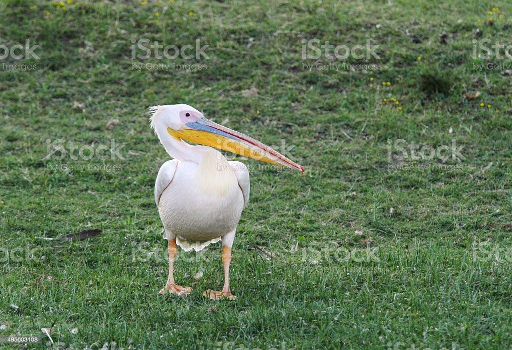 Beautiful Great Pelican on green grass stock photo