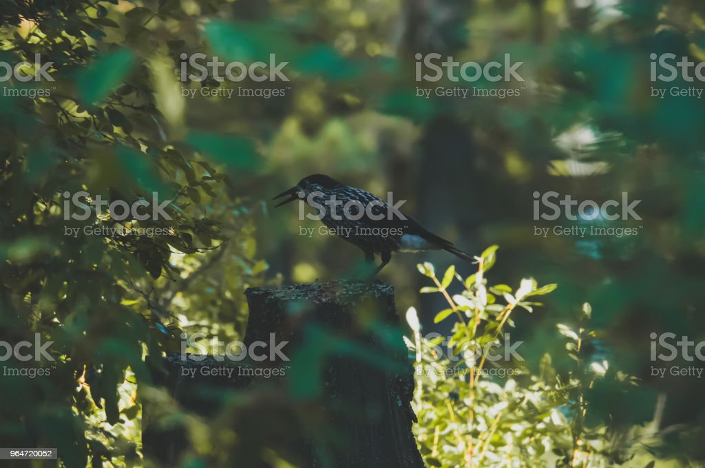 Beautiful Great Spotted Woodpecker bird Dendrocopos Major royalty-free stock photo