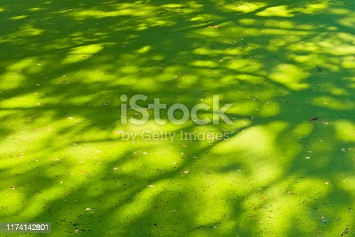 A most unusual site of a beautiful green carpet of pond covered algae, patterned by the above tree's shadows.