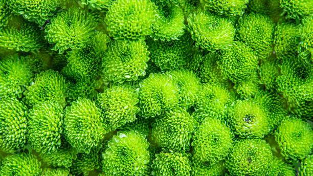 beautiful green chrysanthemum as background picture. chrysanthemum wallpaper, chrysanthemums in autumn. - mika foto e immagini stock