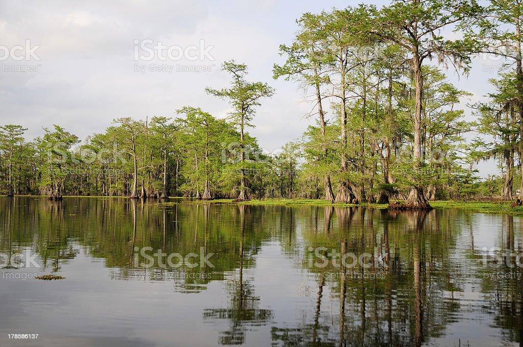 Beautiful Green Cypress stock photo