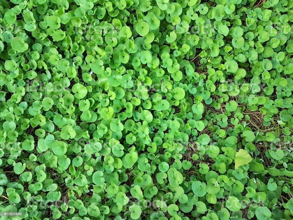 beautiful green Dichondra repens grass stock photo