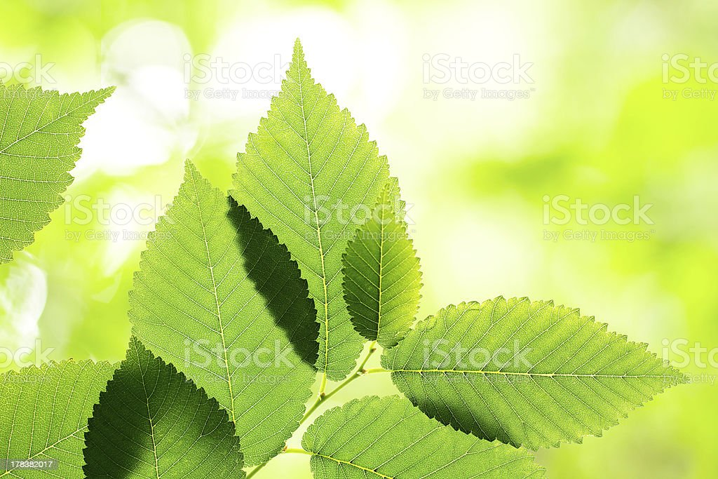 Beautiful green elm leaves stock photo