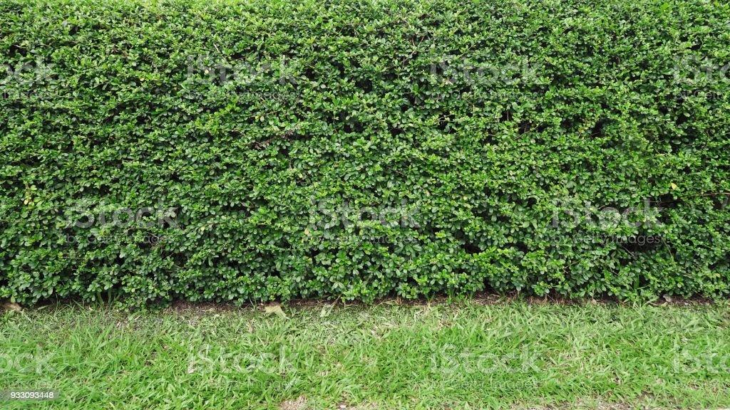 Fotografia De Verde Eukien Te Arbusto Plantas Hermosas Cortan Y - Arbustos-para-vallas