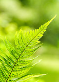 Beautiful green fern leaves foliage in the forest. Floral nature background. Soft focus.