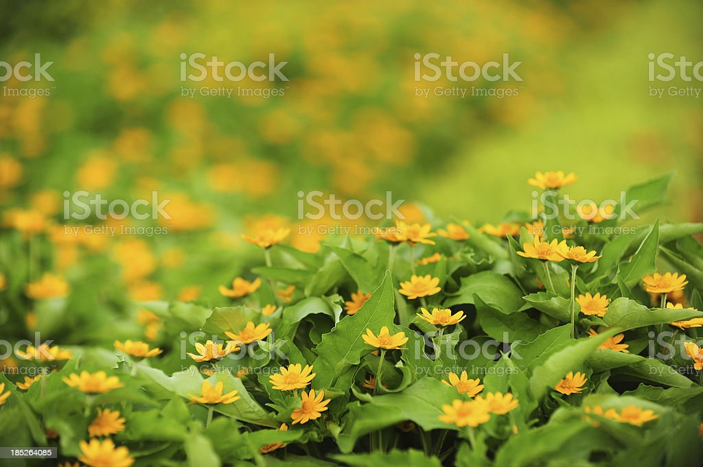 Beautiful green field with daisies royalty-free stock photo