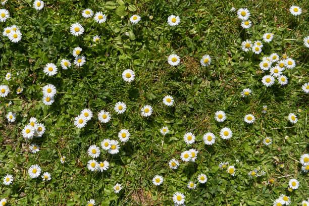 mooie groene veld met gras en vele bloemen van witte margriet in het zonlicht - madeliefje stockfoto's en -beelden