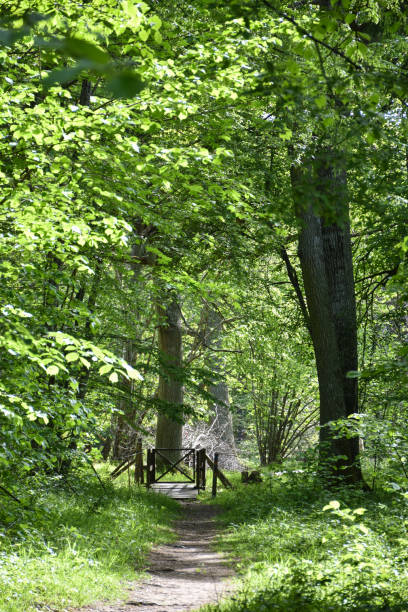 Beautiful green footpath in a deciduous forest by spring season stock photo