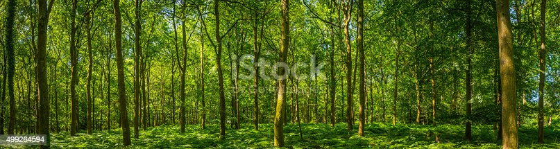 Dappled summer sunlight filtering through the leafy foliage of a idyllic woodland glade to the delicate green fern fronds carpeting the forest floor in this tranquil natural panorama. ProPhoto RGB profile for maximum color fidelity and gamut.