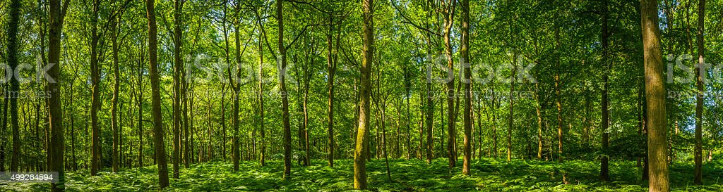 Beautiful green forest glade ferns foliage dappled sunlight woodland panorama stock photo