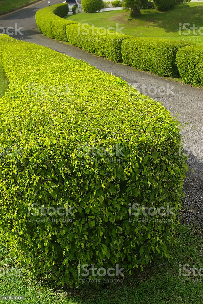 beautiful green hedge