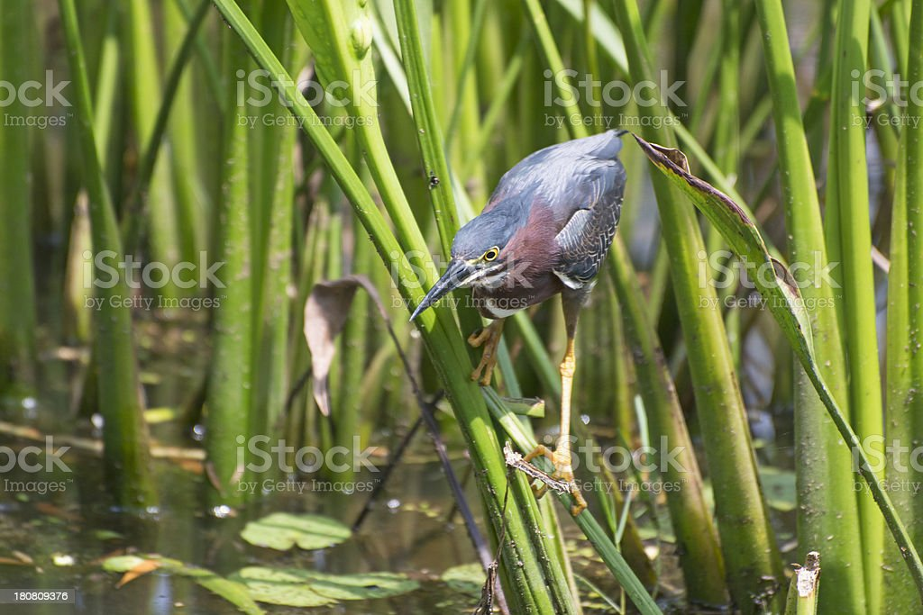 Beautiful Green Heron On Reeds Above Water  Lillies stock photo