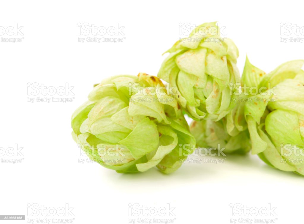 Beautiful green hop. stock photo