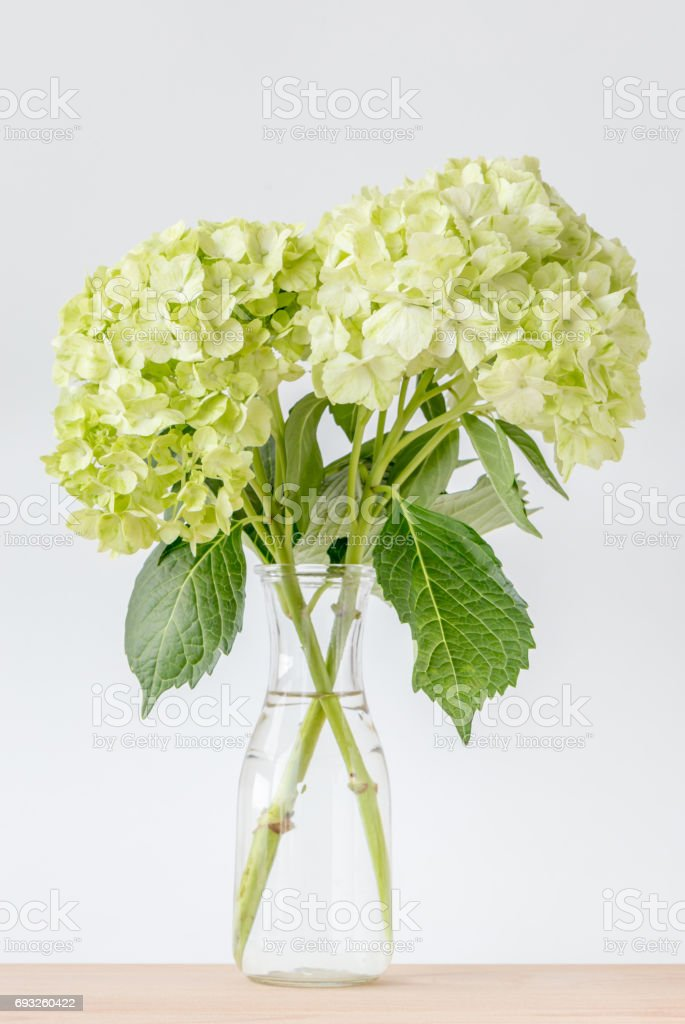 Beautiful Green Hydrangea Flowers Decorated In Vase Place On Wooden