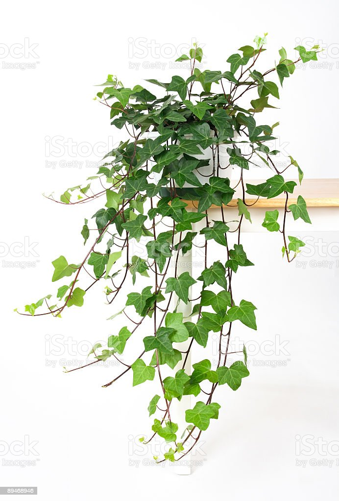 Beautiful green ivy in pot royalty free stockfoto