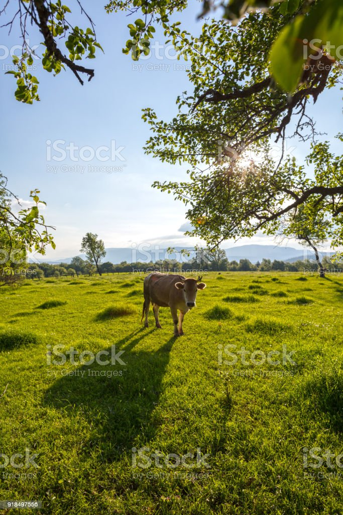 Beautiful Green Landscape with Grazing Cows stock photo