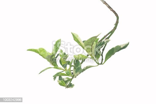 istock Beautiful green leaf isolated on white background. Species spotted leaves isolated on white background. 1003242996