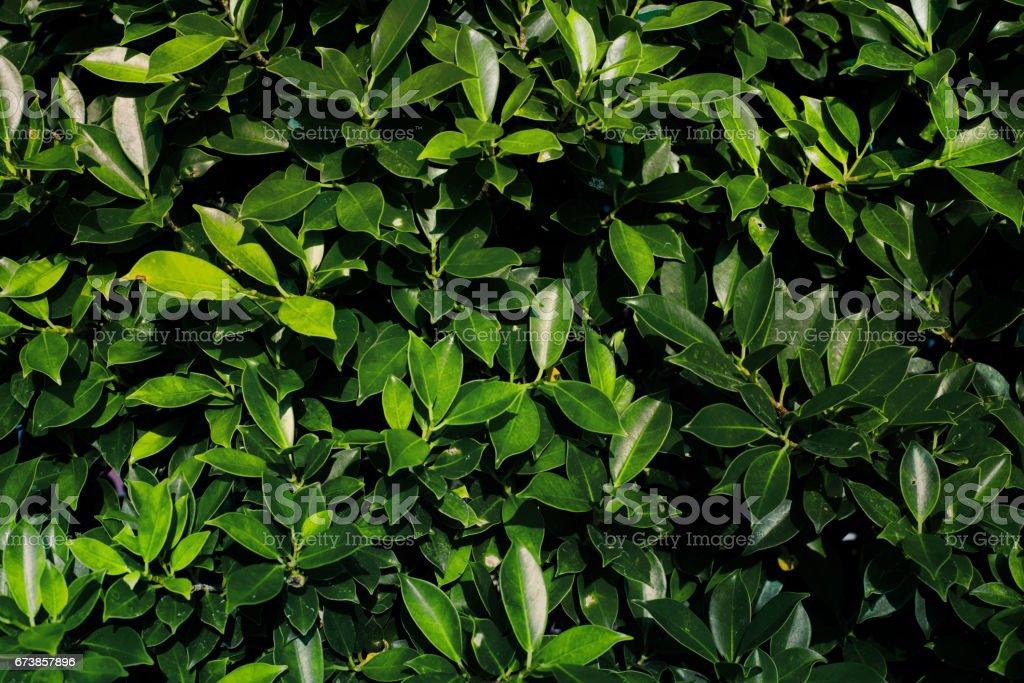Beautiful green leaves background. photo libre de droits