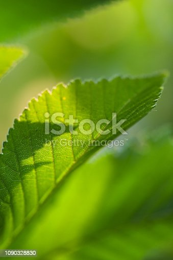 Beautiful green leaves lighten from behind