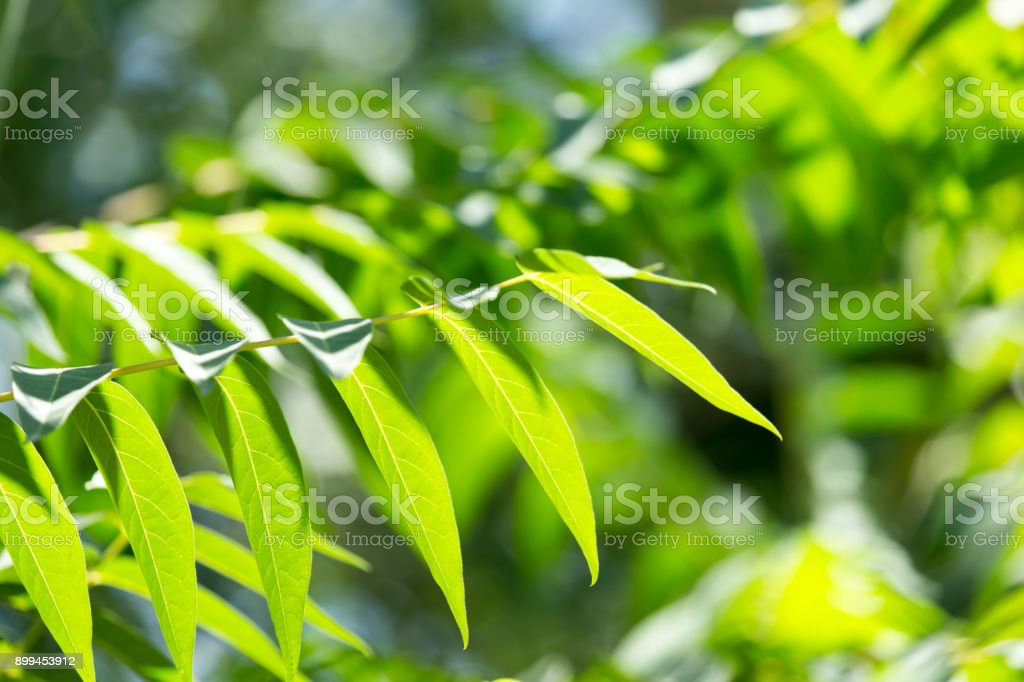 beautiful green leaves on a tree branch stock photo