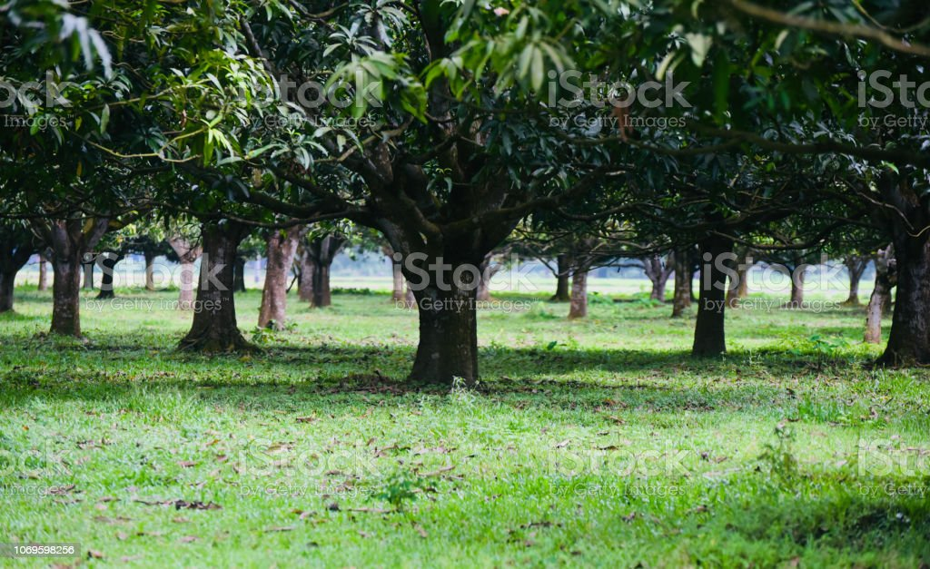 Beautiful green mango trees with leaves stock photo